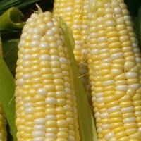 corn-featured-vegetable.sjpg