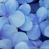 Caring for Hydrangeas