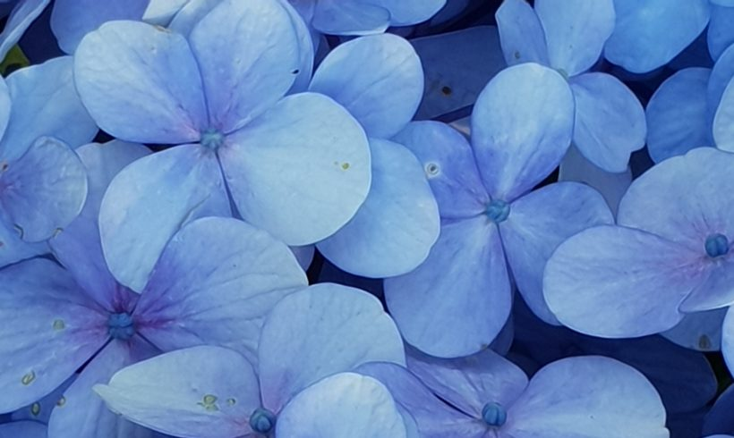Caring for Hydrangeas